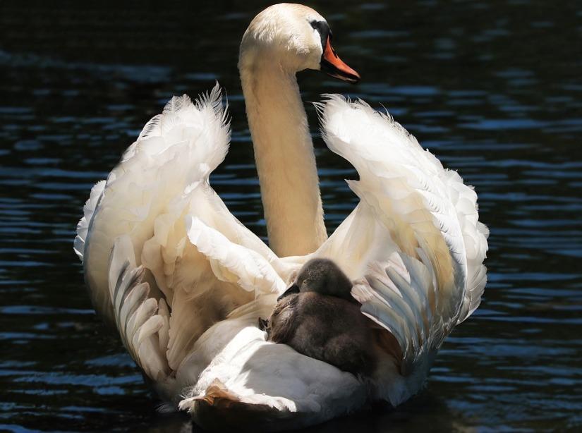 swan-2494986_960_720